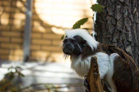 chunky: chunky monkey is sitting on the birch