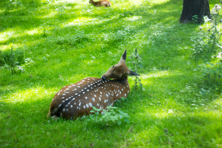 herbivorous animals: the deer lies there and scratches his back Stock Photo