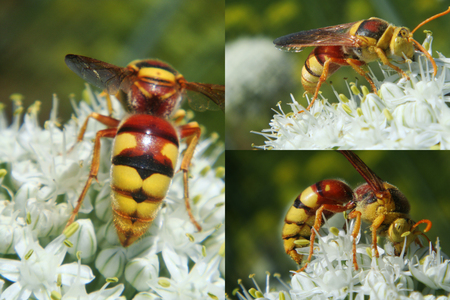 beautifully: hornet, macro, insects, Colors, dangerously, beautifully, flowers, bow