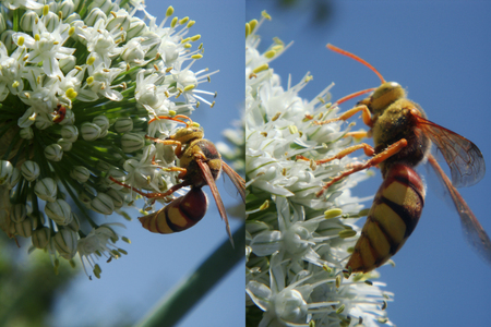 hornet: Fly, Insects, Macro, Bee, Wings, Nature, Hornet,
