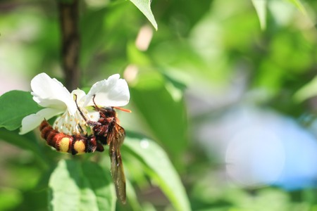 hornet: insects, nature, bumblebee, hornet, nectar, flowers, spring,