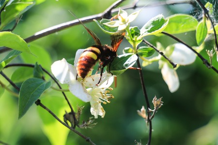 nectar: insects, nature, bumblebee, hornet, nectar, flowers, spring,