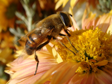 bee flower: Bee, flower, nectar, nature, insects