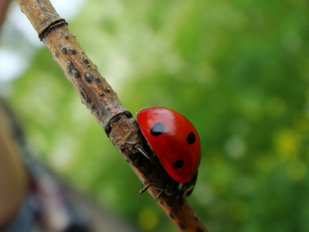 willow: nature, ladybug, willow