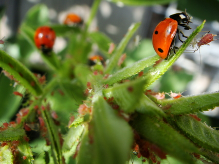 aphid: nature, insects, ladybug, aphid Stock Photo