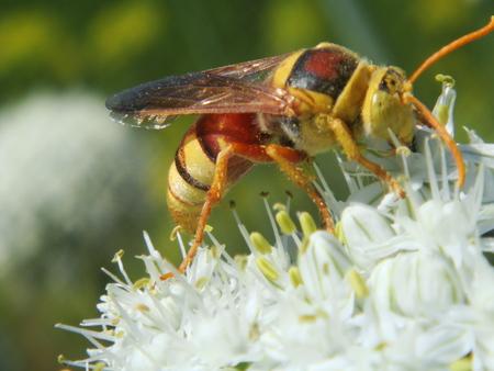 poisonous insect: Hornet, nature, insects, dangerous, venomous Stock Photo