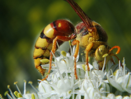 observations: Hornet, nature, insects, dangerous, venomous Stock Photo