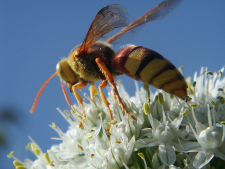 poisonous insect: hornet Stock Photo