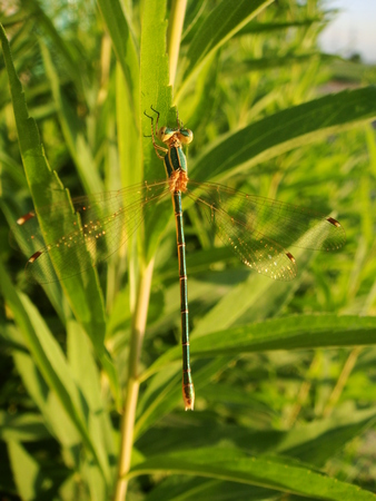 willow: dragonfly, insects, willow, nature, lake
