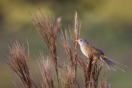 wedgetailed: Wedge-tailed Grass-Finch (Emberizoides herbicola)