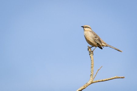 mockingbird: Chalk-browed Mockingbird on tree Stock Photo