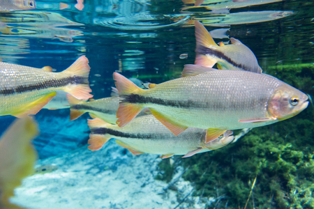 Diving at Salobra river with fishes piraputanga, piau, dourado and others - Nobres - MT - Brazil Stock Photo