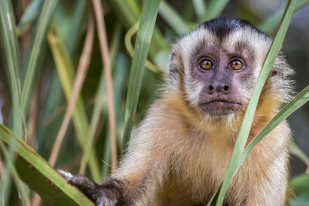 Macaco Prego - Sapajus gender Stockfoto