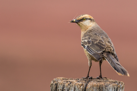 mockingbird: Chalk-browed Mockingbird - Mimus saturninus Stock Photo