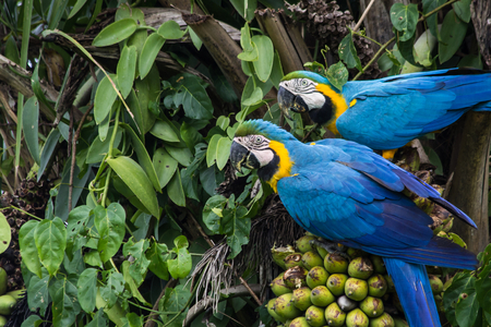 Brazilian Caninde Macaw eating coconuts - Mato Grosso State - Brazil Stockfoto