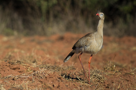 natural habitat: Red-legged Seriema at natural habitat