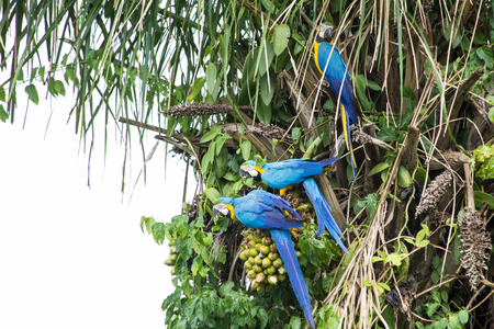 Brazilian Caninde Macaw eating coconuts - Mato Grosso State - Brazil Imagens