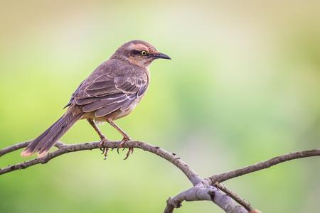 ruiseñor: Chalk-browed Mockingbird - Mimus saturninus (Lichtenstein, 1823)