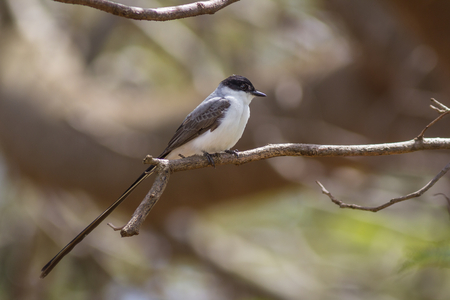 savana: Fork-tailed Flycatcher (Tyrannus savana) Stock Photo