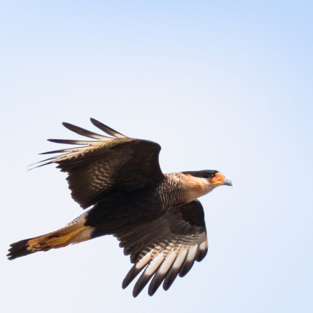 abductor: Southern Caracara  (Caracara plancus) Stock Photo
