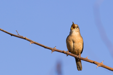 musculus: Southern House Wren resting on branch