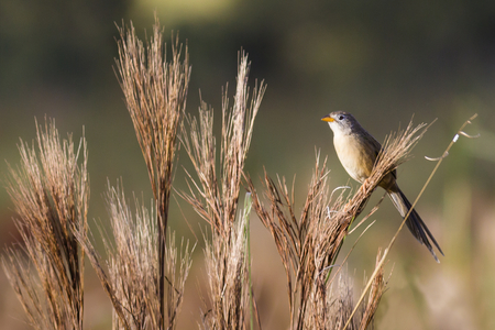Wedge-tailed Grass-Finch (Emberizoides herbicola)