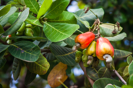 cashew tree: Leaves and cashews in cashew tree