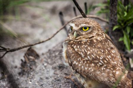 Owl from Serra da Canastra National Park - Minas Gerais - Brazil