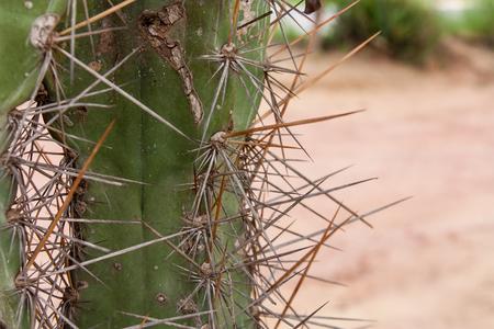 crocket: Brazilian Cactus - Cereus jamacaru