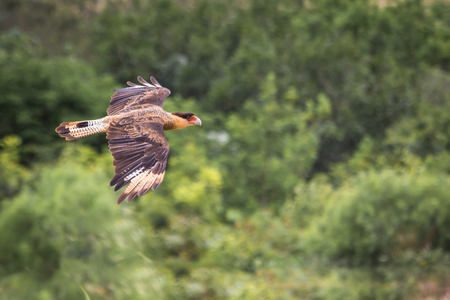 abductor: Southern Caracara flying - Parque Nacional da Serra da Canastra - Brasil Stock Photo