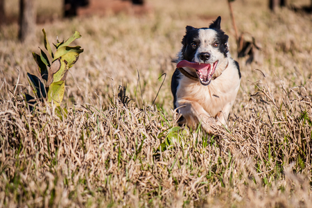 Border Collie running and jumping on meadow