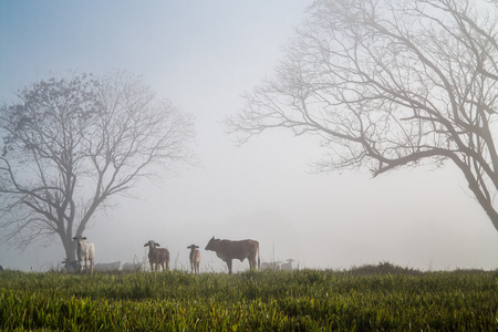Oxen in the fog
