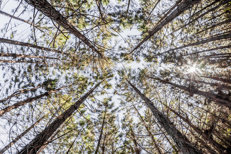 Looking up in a pine forest