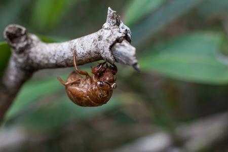 exoskeleton: Exoskeleton of a cicada, typical of the Brazilian Cerrado