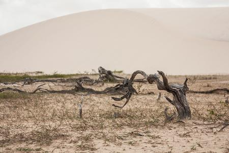 sandal tree: Trunks at Desert in Lencois Maranhenses - Brazil