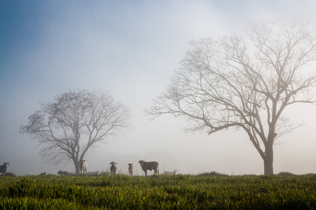 oxen: Oxen in the fog