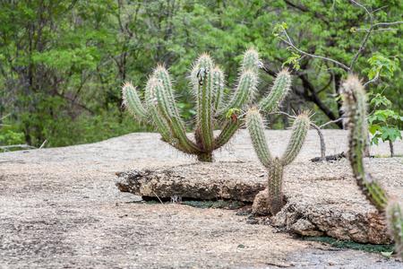 northeast: Brazilian Cactus - Xique Xique - Pilosocereus gounellei