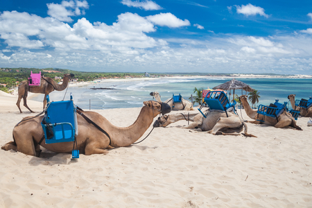 natal: Camels used for tourist rides at Natal - RN - Brazil Stock Photo