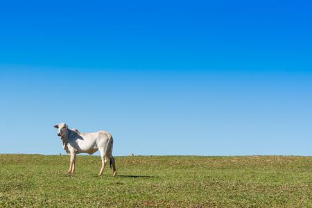 buey: buey solo en pasto verde, con el cielo azul
