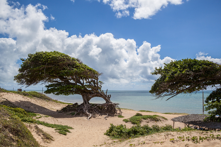 rn: Typical tree on the brazilian coast at Natal - RN - Brazil Stock Photo