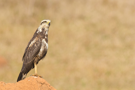 a large bird of prey: A young Savanna Hawk (Heterospizias meridionalis) resting on termite mound Stock Photo