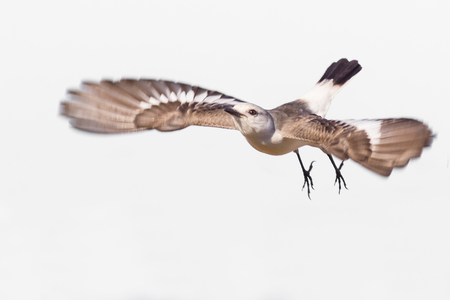 White-rumped Monjita (Xolmis velatus) flying on white background Stockfoto