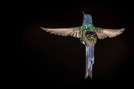 Hummingbird flying - black background Stockfoto
