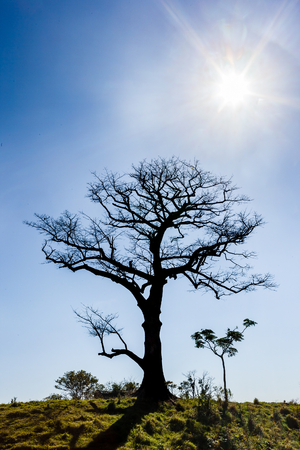 Dry tree with blue sky and sun in the backlight