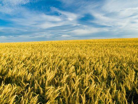 golden grain ready for harvest Stock Photo - 1158429
