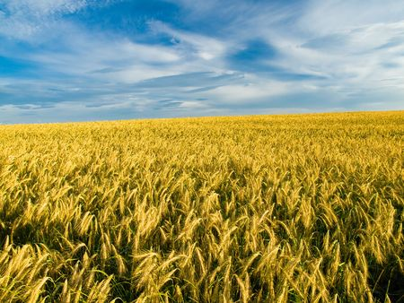 golden grain ready for harvest Stock Photo - 1158429