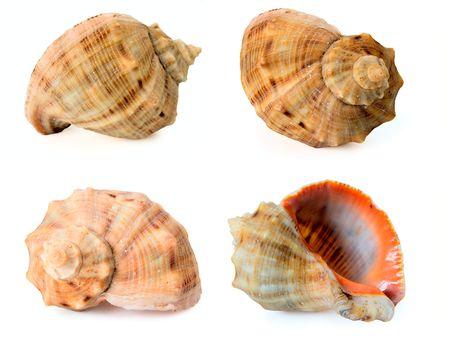 recoger: Colección del Mar Negro cockleshells-Rapana Venosa (thomassiana)