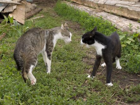 peleaba: Duelo de dos gatos en un jard�n  Foto de archivo