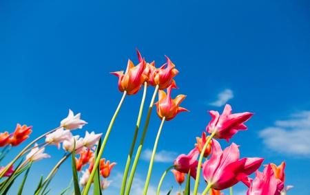 Spring tulips on blue sky background photo