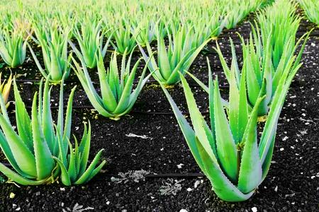 aloe vera flowers: Aloe vera a plantation of herbs